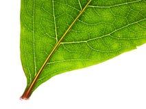 Der Teil des grünen Blattes trennte Stockbild