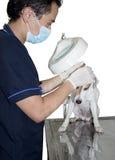 Der Tierarzt cheaking den Hund Stockfoto