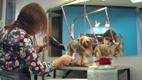 Der Tierarzt trocknet das Haar des Hundes mit einem Haartrockner und kämmt das Yorkshire Terrier stock video footage