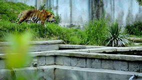Der Tiger stock footage