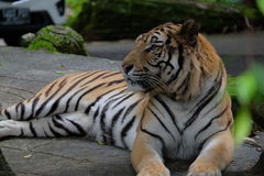 Der Tiger Lizenzfreies Stockbild