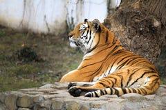 Der Tiger lizenzfreie stockfotografie