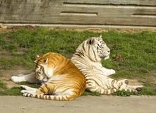 Der Tiger und die Tigerin Lizenzfreies Stockfoto