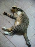 Der Tigerlilien-Katzenschlaf Stockfotos