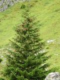 Der Tipp eines Tannenbaums Stockfotos