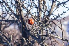 Der tote Apfelbaum Stockbilder