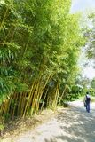 Der Tourist geht entlang die Gasse im Park entlang den Dickichten des Bambus-belaubten grau-grünen Lat Phyllostachys viridiglauce Stockfoto