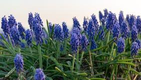 Der Trauben-Nahaufnahme der Nahaufnahme blaue Sonne morgens stockfotografie