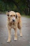 Der traurige alte streunende Hund Stockbilder