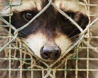 Der traurige Blick eines raccon hinter dem Käfig Lizenzfreie Stockfotos