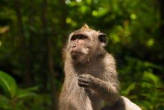 Der Ubud-Affe Lizenzfreie Stockfotos