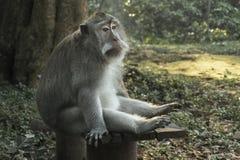 Der Ubud-Affe-Wald ist ein Komplex des Naturreservats und des hindischen Tempels in Ubud, Bali, Indonesien Stockfotografie