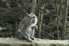 Der Ubud-Affe-Wald ist ein Komplex des Naturreservats und des hindischen Tempels in Ubud, Bali, Indonesien Stockbilder