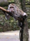 Der nasse Affe im Ubud Affe-Wald, Bali, Indonesien Lizenzfreies Stockbild
