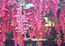 Der Uhr-Scharlachrot Rebe-- Thunbergia Coccinea - hängende Blumen in den Gruppen Stockbilder