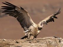 Der Umhang-Geier gerade landend auf Felsenleiste mit Flügeln noch dehnte völlig sich aus Lizenzfreie Stockfotos