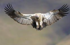Der Umhang Griffon oder Umhang-Geier Lizenzfreies Stockbild