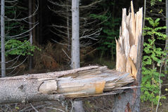 Der unterbrochene Baum Stockfoto