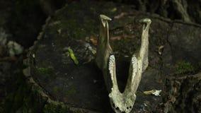 Der Unterkiefer des Pferds liegt auf einem Stumpf im Waldkonzept der Umweltkatastrophe heidnisches Rituskonzept stock footage