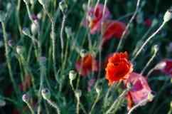 Der ursprüngliche Aspekt von Mohnblumen auf dem Gebiet (Samenzellen, fertilizatio Stockfotografie