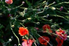 Der ursprüngliche Aspekt von Mohnblumen auf dem Gebiet (Samenzellen, fertilizatio Lizenzfreies Stockbild