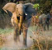 Der verärgerte afrikanische Buschelefant Lizenzfreie Stockfotografie