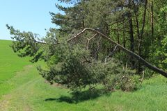 Der verbogene Baum im Holz Stockfotos