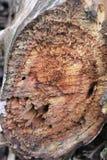 Der verlassene Garten Die Beschaffenheit eines alten toten Baums in einem Schnitt Schneiden Sie Baum am Schnitt stockbilder