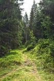 Der verlorene Weg im Koniferenwald Stockbild