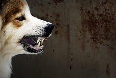 Der verrückte Hund bedrohen Showreißzähne haben das Geifern ist ein Symptom von Tollwut Stockbild