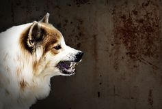Der verrückte Hund bedrohen Showreißzähne haben das Geifern ist ein Symptom von Tollwut Lizenzfreie Stockfotografie