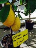 Der Vetter der Zitrone Stockbild