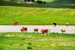 Der Viehflußufer Lizenzfreie Stockfotos