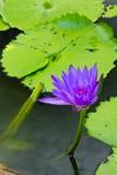 Der violette Lotos Stockfoto