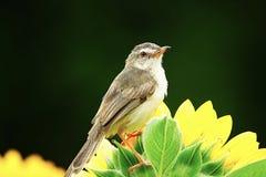 Der Vogel auf der schönen Natur des Sonnenblumengartens im Freien stockfotos