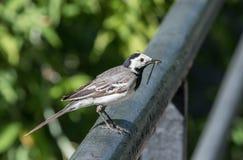 Der Vogel der Bachstelze fing die Libelle Stockfoto