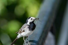 Der Vogel der Bachstelze fing die Libelle Lizenzfreies Stockfoto