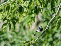 Der Vogel der Bachstelze fing die Libelle Lizenzfreies Stockbild