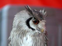 Der Vogel der Eule Stockfotos