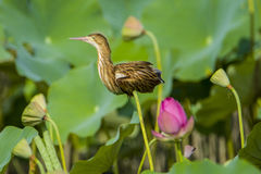 Der Vogel im Teich Stockfotos