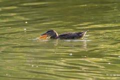 Der Vogel im Teich Stockbild