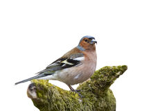 Der Vogel ist ein Fink, der auf einer Niederlassung mit Moos auf einem Weiß steht, ist Stockfoto