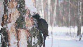 Der Vogel ist ein Specht, der auf dem Baum sitzt und Schnabel klopft auf Holz Gefrorener Wald stock video