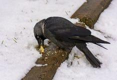 Der Vogel ist eine Dohle isst die Cracker, die auf ihren Rasen geworfen werden lizenzfreie stockfotos