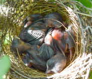 Der Vogel mit drei Babys schlafen im Nest Lizenzfreies Stockbild