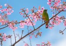 Der Vogel sitzen auf blühendem Blumenzweig Lizenzfreies Stockbild