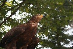 Der vorsichtige Adler Stockfotos