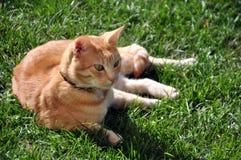 Der vorsichtige Blick einer Katze der europäischen Zucht Lizenzfreie Stockbilder