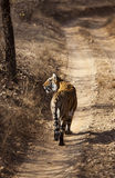 Der wachsame Tiger. Stockfotografie