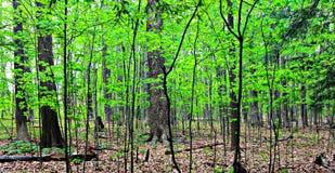 Der Wald des grünen Sommers Stockfoto